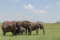 The Family (Hector16) Tags: namiriplains eastafrica tanzania serengeti gettyimages wildlife nature shinyangaregion tz ngc npc