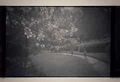 Glendurgan (Olympus 35RC, Kodak Tri-X) (Mr B's Photography) Tags: path children walking tree blackandwhite kodak film olympus35rc