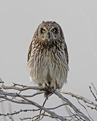 Puffy (tomblandford) Tags: shortearedowl owl bowdoinnationalwildliferefuge montanawildlife wildlifeofthewest