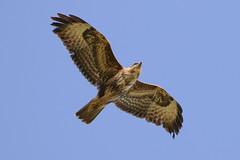 Buzzard in Flight (Dougie Edmond) Tags: prestwick scotland unitedkingdom gb buzzard raptor bird prey good light clse up nature wildlife