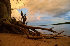 reachin for a sip (David Sebben) Tags: tree nature mississippi river roots sunset cool water june
