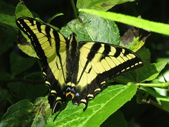 Western Tiger Swallowtail (Bug Eric) Tags: animals wildlife nature outdoors insects bugs butterflies swallowtails papilionidae lepidoptera portland oregon usa westerntigerswallowtail papiliorutulus oaksbottomwildliferefuge northamerica june22018