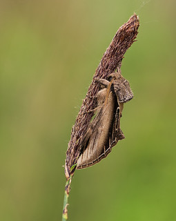 Swallow Prominent (
