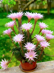 Cactus (Echinopsis oxygona) en flor, Zaragoza (eustoquio.molina) Tags: echinopsis oxygona flower zaragoza cactus