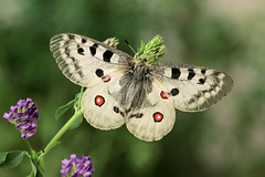 Parnassius apollo (francesco.bernardi759) Tags: macro photomacro farfalle canon ngc canon5dmarkiii macrofarfalle photonatura work workshop cayo animali allaperto insetto wandering macrophotography