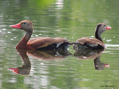 Black-bellied Whistling Ducks (Rutland County Audubon) Tags: addisoncounty shoreham rutlandcountyaudubon blackbelliedwhistlingduck duck 2018 spring vermont