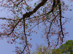 Blossom of the red silk cotton tree (phuong.sg@gmail.com) Tags: asia asian beauty bloom blossom bombax branch bud cambodia ceiba china colorful cotton culture curving detail energy ethnicity fertile flora florida flower fresh garden gardening heat horticulture laos luck mandalay myanmar nature orange peach petal pink pistil plant red silk sky spring stem thailand tree tropical vietnam