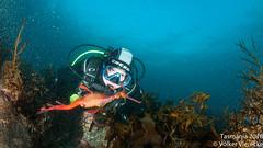 DUW_2453 (Volker Vierecke) Tags: australia bicheno tasmansea tasmania tauchen underwater