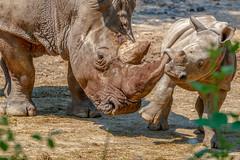 Breedlipneushoorn (Rini Hemelop) Tags: neushoorn breedlipneushoorn dieren natuur arnhem gelderland nederland nl