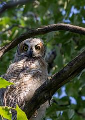 Stare down (poormommy) Tags: owl greathornedowl birdofprey tree branch trunk leaf leaves feather feathers beginnerdigitalphotographychallengewinner