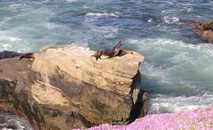 Mother sea lion just woke up (JonSalim) Tags: sea lions san diego beach sealions sandiego sandiegosealions lajollacove seelöven