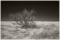 Empire Ranch IR #3 2018; Tree & Grass (hamsiksa) Tags: environment biomes grasslands arizona southernarizona trees mesquite prosopis fabaceae sonorandesert empirevalleyplantsvegetationgramineaepoacaeblack whiteinfrareddigital infrared