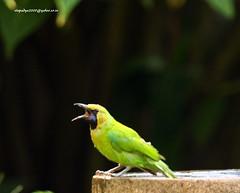 IMG_5531 Jerdon's Leafbird-Male (Chloropsis jerdoni) (vlupadya) Tags: greatnature bird animal aves fauna indianbirds jerdons leafbird chloropsis kundapura karnataka