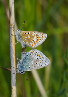 A pair of mating Blue's.....