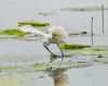 Gotcha! (Mike Matney Photography) Tags: 2018 canon eos7d horseshoelake illinois june madisoncounty midwest bird birds egrets herons nature wildlife pontoonbeach unitedstates us