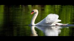 Impassible (Alexandre LAVIGNE) Tags: hdpentaxdfa150450mm hdpentaxdaaf14xaw louisengival pentaxk3 format2351 cygne jeune ambiance eq945mm lumière nature oiseau saintquentin picardiehautsdefrance