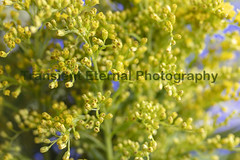 Yellow Flowers, stems and leaves of the Casia Plant (Transient Eternal) Tags: caspia foliage plant flowerfiller filler flowers yellow green greenplant buds tinyflowers bouquet nature natural texture garden leaves stems patterns bunch landscape background blooming small morninglight decorative decor homedecor gift delicate delicateplant willowy soft softness