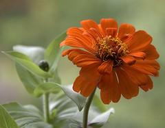 Magellan Orange (Scott 97006) Tags: flower orange petals beautiful pretty bokeh delightful