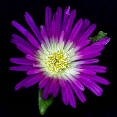 Friday's Flower Power (AnyMotion) Tags: delosperma mittagsblume blossom blüte onblack 2018 plants pflanzen anymotion nature natur blumen floral flowers frankfurt 6d canoneos6d garden garten colours colors farben purple violett yellow gelb macro makro makroaufnahmen spring frühling primavera printemps square 1600x1600