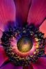 Anemone de Caen (camelia c.) Tags: anemone closeup macro flower stamens petals colours