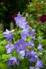 Church Garden.. (Adam Swaine) Tags: flora flowers gardens summer england english eastcoast beautiful nature naturelovers uk london churchyard colours canon purplegreen