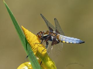 Broad-bodied Chaser , male - Libellula depressa