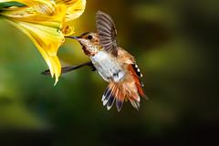 A Young Allen's (Patricia Ware) Tags: allenshummingbird alstroemeria backyard birdsinflight california canon manhattanbeach multipleflash selasphorussasin tripod httppwarezenfoliocom ©2018patriciawareallrightsreserved specanimal