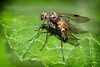 Black snipe fly (Chrysopilus cristatus) (Mark Wasteney) Tags: happyflydayfriday fly diptera insect invertebrate nature wildlife closeup natural macro