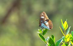 Blauschwarzer Eisvogel (Limenitis reducta) (Andrelo2014) Tags: blauschwarze eisvogel limenitis reducta butterfly macro nature