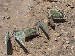 Croatia - Mixed puddling (June 10th) (ArtFrames) Tags: butterfly croatia naturetrek blackveinedwhite large grizzled skipper