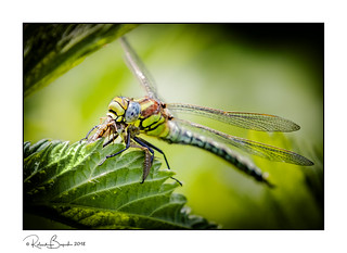 Dragonfly eating Mayfly - Hairy Dragonfly (m)