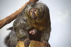 Alexandria's Baby! (MTSOfan) Tags: alexandria baby sakimonkey bayou epz monkeys birth