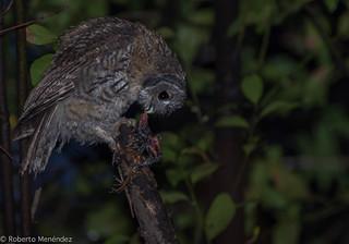 Pollo de cárabo con mirlo,tawny owl(strix aluco)