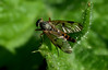 Downlooker Snipefly (Robert & Pamela) Tags: rspb lochlomond macro macrounlimited closeup snipefly scotland