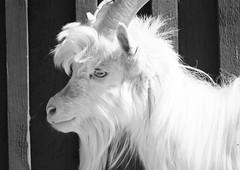 6Q3A6905 (www.ilkkajukarainen.fi) Tags: vuohi goat animal happy life eläin koti sarvet eyes simät glims museum espoo visit musèe museet museo monochrome mustavalkoinen blackandwhite