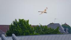 Au dessus des toits (Alexandre LAVIGNE) Tags: hdpentaxdfa150450mm louisengival pentaxk1 cygne juvénile k1 nature oiseau roofs toits vol saintquentin picardiehautsdefrance
