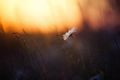 the lonely one (Lena Held) Tags: bokeh makro macro detail detailed flower flowers meadow eve sunset sunlight sunshine sundown afterglow glow sun sky 135mm 20 smoth silk oberpfalz bayer deutschland germany bavaria nature natural square squareformat plants planty spring mai may frühling