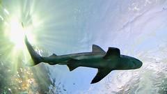 Predator (R.A. Killmer) Tags: shark predator light below intimidating water aquarium ripleys toronto canada blue deep reef fish swim ontario