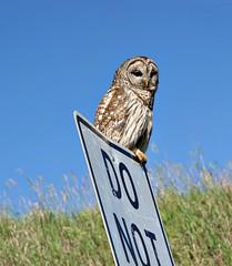 Barred Owl Beside The Road (pam's pics-) Tags: ks kansas us usa america midwest pamspics sonya6000 nature natural animals wlldlife washingtonkansas roadside owl barred rural