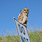 Barred Owl Beside The Road thumbnail