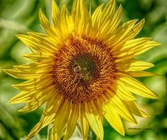 Oh I'm drowning in you (Kathryn Louise18) Tags: canon kathrynlouise florida macro mims bees sunflowers yellowflowers petals gratefuldeadlyrics bobweir johnbarlowlyrics floral garden