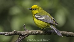 Blue-winged Warbler IMG_9457 (ronzigler) Tags: bluewinged warbler wildlife nature birdwatcher songbird avian bird