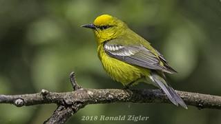 Blue-winged Warbler IMG_9457