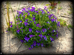 """A Wild Spring Beauty"" ("" P@tH Im@ges "") Tags: sanddunes sedge pansy dublin sun"