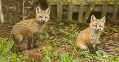 IMGL1321 Pugwash Red Fox Kit(s) (Wallace River) Tags: foxes novascotia pugwashfoxes redfoxes