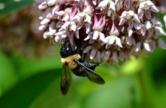 2428ex bee on milkweed blooms (jjjj56cp) Tags: closeup dof flowers blossoms blooms buds milkweed purplemilkweed butterflygarden spring springtime purple nectaring feeding d7000 jennypansing inthewild