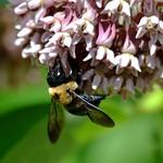 2428ex bee on milkweed blooms thumbnail