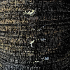 ABC gum tree (MyArtistSoul) Tags: abc gum palm tree trunk texture simple minimal abstract urban square 2005 iphone7