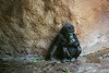 IMG_7078 – obnovený (Městský průzkum) Tags: gorila animals zoo prague praha photo canon helios 442