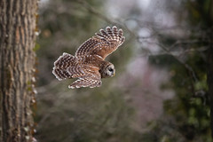 Flight Pattern... (DTT67) Tags: barredowl owl 1dxmkii canon birdinflight birdofprey flight bif bird nature wildlife